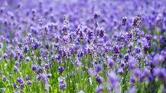 Fields of purple - Lavendar (LKungJr) Tags: uk flowers england color london purple buds royalobservatory lavendar mygearandme blinkagain