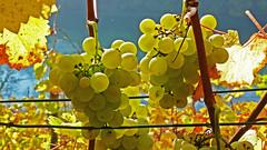 Eglisau_030a_26102008_12'13 (eduard43) Tags: autumn leaves herbst grapes bltter rhein trauben eglisau rgine