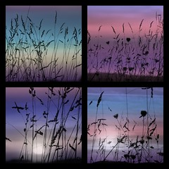 Grasses Collage (haberlea) Tags: sunset sky plants nature grass collage square vibrant 4 gradients picmonkey