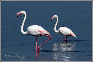 2586 - flamingos 2