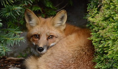 Foxy backyard visitor (HansWobbe) Tags: bravo wildlife fox redfox frhwo frhwofavs hworank 201301