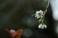 (maaco) Tags: flowers zeiss t 50mm bokeh f2 carlzeiss zf makroplanar rokapark  rokakoen capturenx d7000