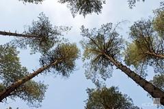 unter Kiefern  / under pine trees (Ellenore56) Tags: wood november trees light sky inspiration color colour detail tree nature pine
