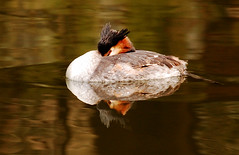 Great Crested Grebe feigning sleep at Nottingham University (blinkingidiot) Tags: reflection autumncolours universityofnottingham greatcrestedgrebe highfieldpark nottinghamwildlife blinkagain