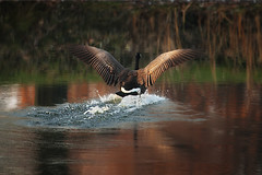 One Canada Goose (Gator 5) Tags: november water fly wings pond flight feathers goose splash migration touchdown canadagoose