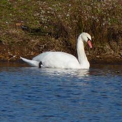 Mute Swan (Dendroica cerulea) Tags: autumn bird birds newjersey swan nj waterbird aves highlandpark waterfowl muteswan cygnusolor anatidae anseriformes middlesexcounty donaldsonpark