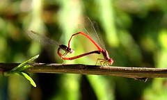 Telebasis salva in love (Greñitas) Tags: t dragonfly ele inlove telebasis telebasissalva dragonflymating