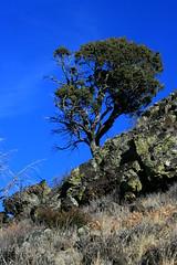 Persistence (RPahre) Tags: newmexico volcano lava lichen geology juniper spatter capulinvolcanonationalmonument capulinvolcano gambeloak quercusgambelii
