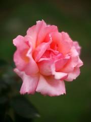 Rose,Compassion,バラ,コンパッション,