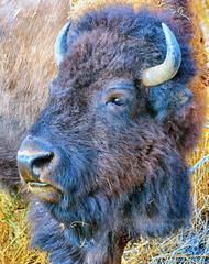 The Boss (Aspenbreeze) Tags: buffalo wildlife wildanimal wyoming bison rut thegalaxy bisonbull bullbison rutseason aspenbreeze topphotospots tpswildlife gpsetest bevzuerlein