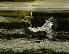 Great Blue Heron Coming In For A Landing (stan hope Off and on.) Tags: park morning usa nature water birds nikon florida wildlife swamp birdsinflight greatblueheron d3 birdsofprey waterbirds floridawildlife wadingbirds specanimal