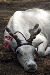 It's been a hard day!!! (bag_lady) Tags: animal fauna reindeer asia mongolia hovsgol whitereindeer khovsgolnuur northernmongolia
