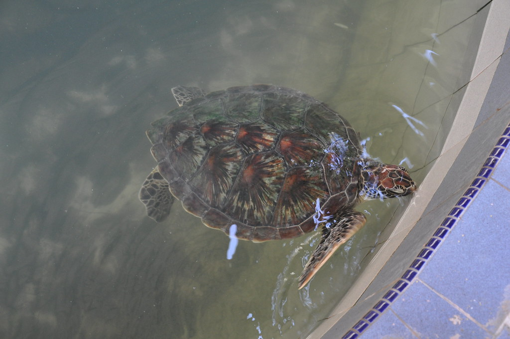 Injured turtle at the Turtle Sanctuary near Cherating, Malaysia