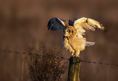 Short-Eared Owl (Asio flammeus) (Kristian Bell) Tags: uk bird canon bell united kingdom raptor short owl kris 5d kristian seo eared asio 100400 flammeus