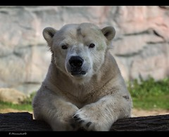 """Good evening and welcome to the news..."" (bernd obervossbeck) Tags: animal zoo polarbear tier icebear eisbr animalportrait zoomerlebniswelt tierportrait zoomgelsenkirchen zwergwchsig mygearandme mygearandmepremium"