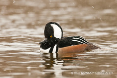 Hooded Merganser (Ralf Nowak) Tags: