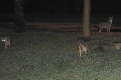 Jackals at the park 2   (  asaf pollak) Tags: night israel jackal  yarkonpark jackals    asafpollak