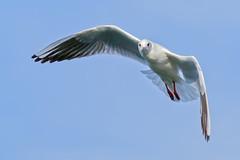 #850E1234 - Eye contact (Zoemies...) Tags: park sea nature birds creek dubai wildlife gulls flight zoemies