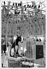 Loneliness... (Daniele Colantonio) Tags: nyc ny newyork museum solitude loneliness arte manhattan donkey guggenheim jackass moke mulo asino cattelan mauriziocattelan ciuco