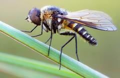 Bee Fly (johnhallmen) Tags: macro insect naturallight diptera bombyliidae zerenestacker sonynex7 olympustelescopicautotube schneiderkreuznachapocompononhm60mmf4