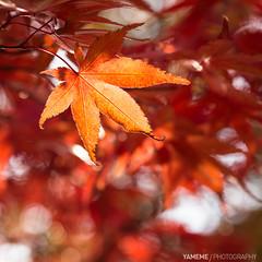 Brown Autumn / Kyoto, Japan (yameme) Tags: travel japan canon eos maple kyoto bokeh   kansai    eikando  24105mmlis  5d3 5dmarkiii