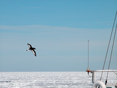 "Antarctic Petrel flyby • <a style=""font-size:0.8em;"" href=""http://www.flickr.com/photos/16564562@N02/8244628236/"" target=""_blank"">View on Flickr</a>"