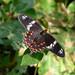 Crimson Rose. Pachliopta hector. Papilionidae