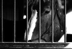 stall bars (Jen MacNeill) Tags: blackandwhite horse animal barn canon bars pennsylvania stall photograph chestnut belgian behind stable equine draft workhorse gelding gypsymarestudios jennifermacneilltraylor jmacneilltraylor