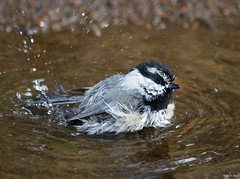 Mountain Splash (markvcr) Tags: supershot avianexcellence freedomtosoarlevel1birdphotosonly freedomtosoarlevel2birdphotosonly freedomtosoarlevel2birdsonly
