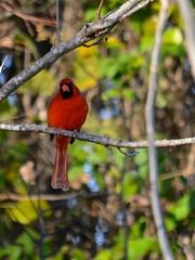 Annoyed Cardinal (steven_and_haley_bach) Tags: bird nikon cardinal aves animalia birdphotography chordata d5100