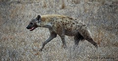 The Sound of the African Night, Spotted hyaena, Kruger Park, South Africa (Ian.Kate.Bruce's Wildlife) Tags: park animal southafrica mammal wildlife national kruger crocutacrocuta spottedhyaena ianbruce katebruce