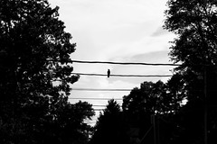 2102/344 (Pamela Greer) Tags: trees blackandwhite bird wire lone isolated p365 2012inphotos