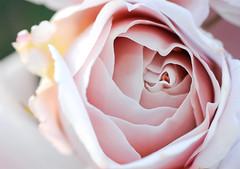 (both names in passport) Tags: flowers summer june rose flora nikon ukraine kyiv 2010 d300 україна київ botgarden ботсад квіти літо рослини троянда