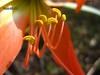 Hippeastrum puniceum (Amaryllidaceae), Pancas, ES, Brasil (Vinícius A.O. Dittrich) Tags: flowers brazil plants naturaleza flores macro southamerica nature brasil flora plantas natureza stamens plantae espíritosanto redflower biodiversity américadosul hippeastrum plantasbrasileiras biodiversidad amaryllidaceae floweringplants pancas atlanticforest américadelsur magnoliophyta monocots florvermelha biodiversidade asparagales estames angiospermas monocotiledôneas florestaatlântica brazilianplants southeasternbrazil sudestedobrasil plantasdebrasil vaodittrich