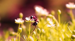 #ant #flowers #flower #grass #animal #nature #macro #closeup #wild #wildlife #insect #garden #field #vibrant #climbing (dario0806) Tags: vibrant flower insect wildlife garden macro animal closeup nature wild field grass climbing flowers ant