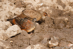 0008 Perlspornhuhn - Painted Spurfowl (uwizisk) Tags: india indien paintedspurfowl perlspornhuhn galloperdixlunulata ranthambhorenationalpark vgel birds