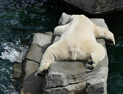 How to cool yourself down on a hot day (BrigitteE1) Tags: howtocoolyourselfdownonahotday sprinter eisbr polarbear ursusmaritimus erlebniszoohannover hanover deutschland germany zoo hotdays specanimal