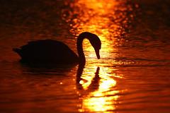 IMG_8443 (Yorkshire Pics) Tags: sunset sunsetsoverwater staidansnaturepark silhouette silhouettes swan swans swansilhouette wildlife nature birds wildfowl 1808 18082016 august leeds