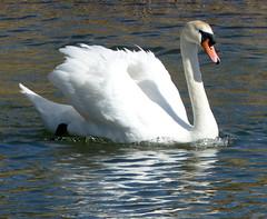 Beautiful Swan  (No Group invites Please) (Mary (No Group Invites Please)) Tags: ireland cocork lake reflections swan