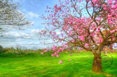 Cherry blossom. (Edward Dullard Photography. Kilkenny, Ireland.) Tags: kilkenny ireland sakura cherryblossom tree garden jardin oldkilkennyphotos oldpicturesofkilkenny oldphotographsofkilkenny edwarddullardphotographykilkennycityireland spring nature landscape