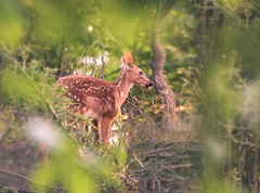 Morning Fawn (Tracy Munson Photography) Tags: canada kawarthalakes kawarthas ontario yourstodiscover baby babyanimal cottage cottagecountry cottagelife deer fawn forest morning nature spotted summer sunrise whitetaileddeer wildanimal wildlife