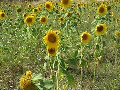 3636 Sunflowers (Andy panomaniacanonymous) Tags: 20160820 dengemarshrd fff field helianthus helianthusannuus kent sss sunflower