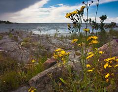 IMG_1098-1 (Andre56154) Tags: schweden sweden sverige vnern see lake wasser water ufer shore pflanze blume flower sky himmel wolken clouds
