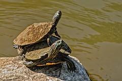 Basking (brev99) Tags: turtles tulsa riverwalk arkansasriver rock sun water tamron70300vc d7100 perfecteffects10 ononesoftware topazdetail highqualityanimals ngc