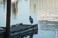 20160825_0052_1 (Bruce McPherson) Tags: brucemcphersonphotography greatblueheron shoalchannel outdoors warm howesound straitofgeorgia georgiastrait gibsonsmarina gigsonslanding gibsons bc canada sunshinecoast