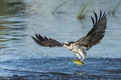 Balbuzard pcheur / Osprey (Roy Yves) Tags: yvesroy balbuzardpcheur osprey