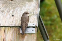 Grauer Fliegenschnpper 5 (rgr_944) Tags: vgel vogel bird oiseau tiere animaux animals natur outdoor canoneos60dcanoneos70d rgr944
