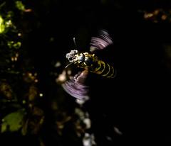 Common Wasp (Vespula Vulgaris) (Gary McHale) Tags: common wasp worker carrying soil underground nest vespula vulgaris