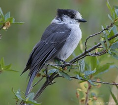 Gray Jay, Whiskey Jack or Canada Jay (wmckenziephotography) Tags: grayjay greyjay canadajay whiskeyjack nature whistler