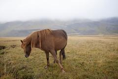 Iceland (wietsej) Tags: iceland horse landscape nature sonyalphadslra900 sonyvariosonnart1635mmf28za sal1635z